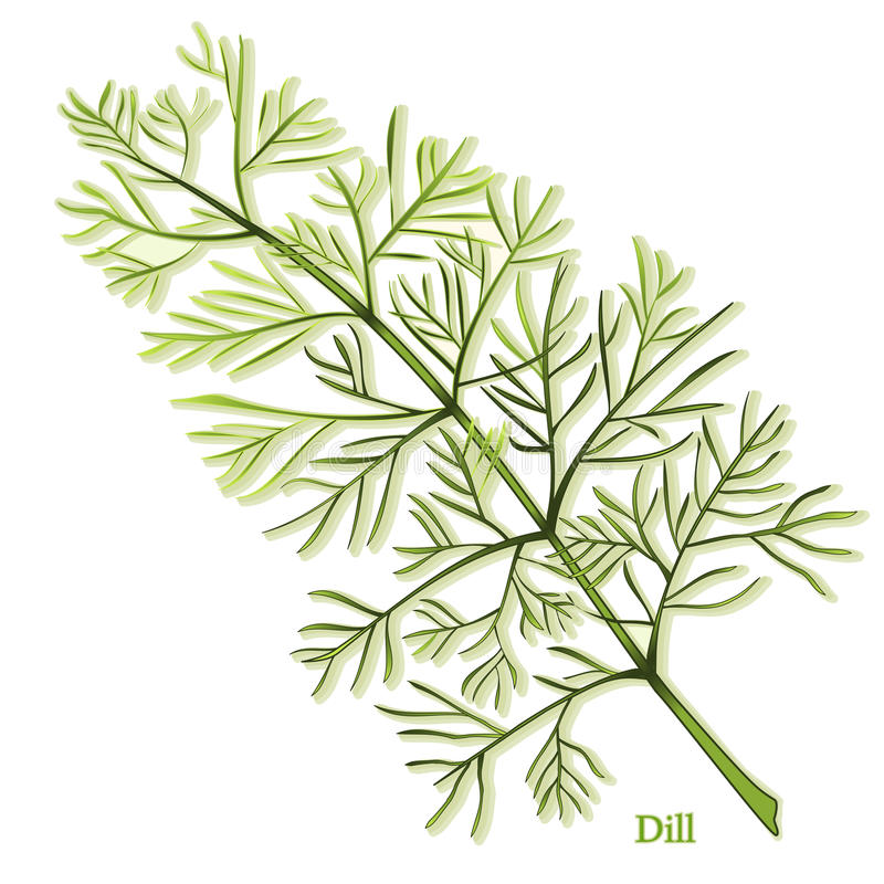 Fresh Dill Herb. Dill herb has thin, needle like aromatic leaves used in seasoning foods, especially pickles. Also called Dill weed. See other herbs and spices vector illustration