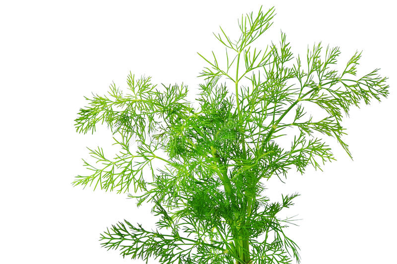Fresh dill herb royalty free stock photo