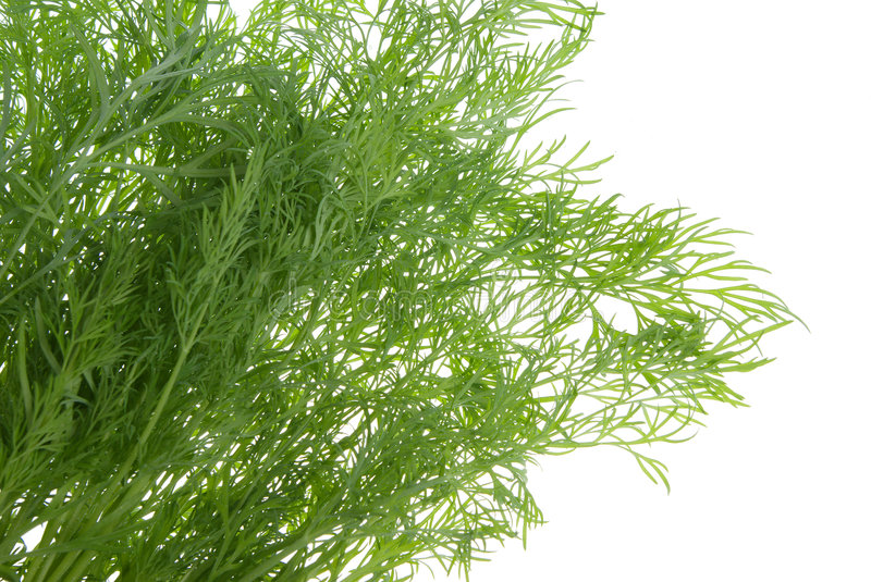 Fresh dill herb isolated royalty free stock photo