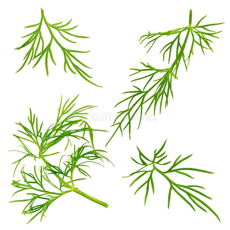 Fresh dill herb isolated on white background. Collection of biologic dill isolated on white background with clipping path as package design element and stock illustration