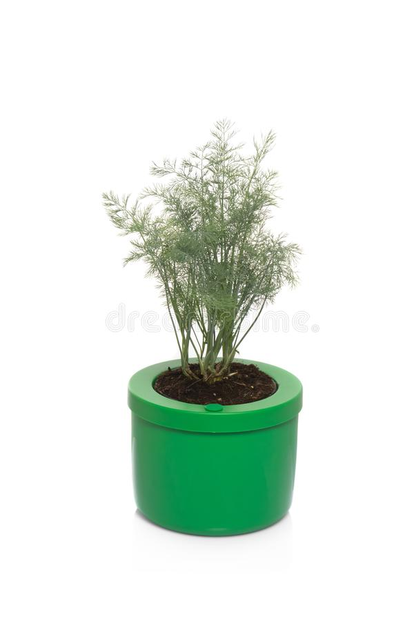 Dill in pot. Fresh dill plant in pot royalty free stock images