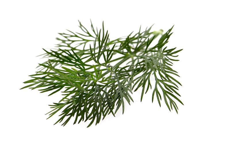 Fresh dill on wite background. Fresh dill isolated on wite background royalty free stock photo