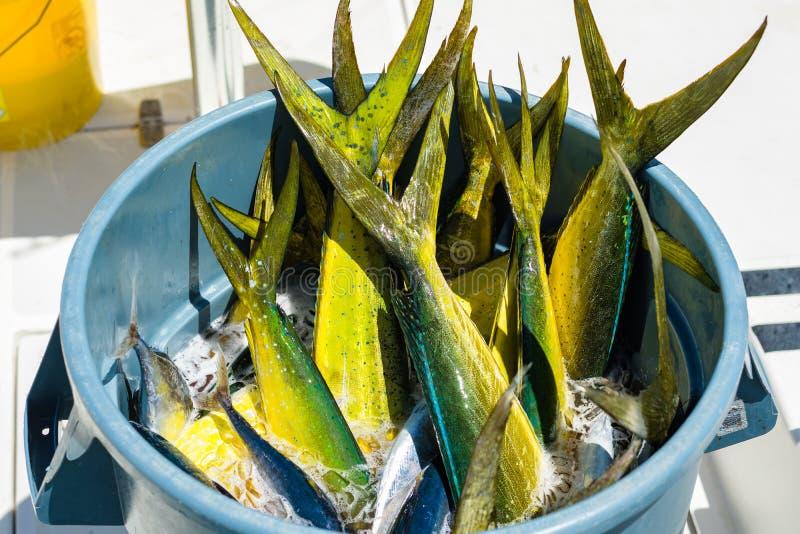 Fresh dolphin fish. Bucket filled with freshly caught Atlantic dolphin fish at a marina in the Florida Keys stock photos