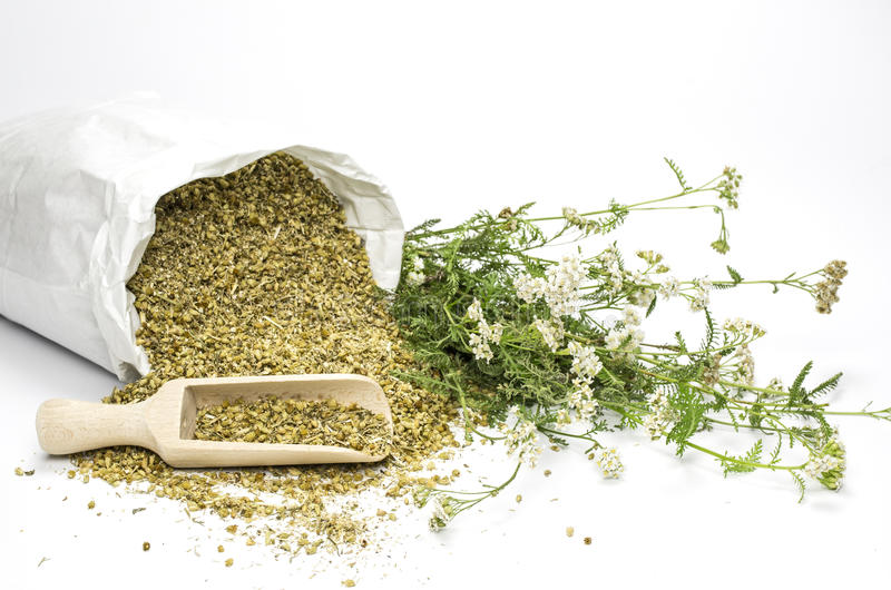 Fresh and dried common yarrow stock photo