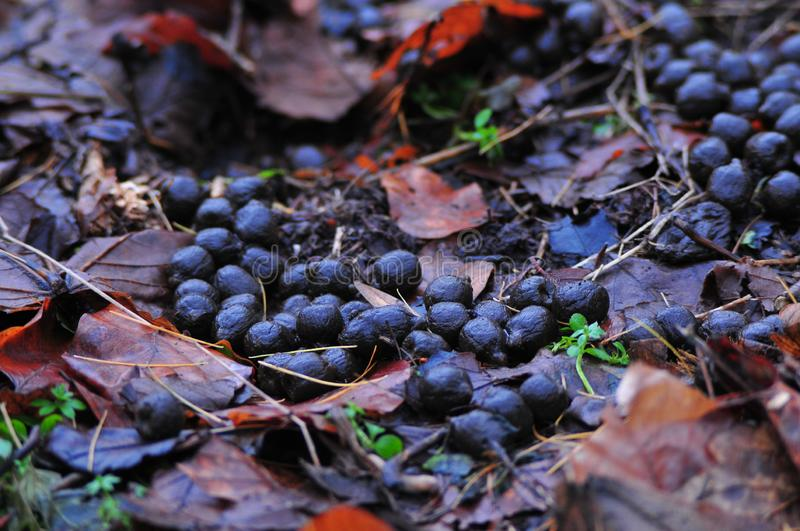 Fresh droppings of European deer the forest floor. Forest royalty free stock image