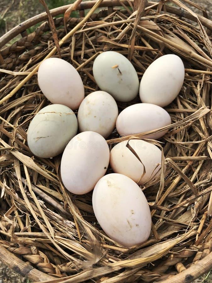 Fresh duck eggs on the farm. Fresh duck eggs on the farm in Thailand royalty free stock photos