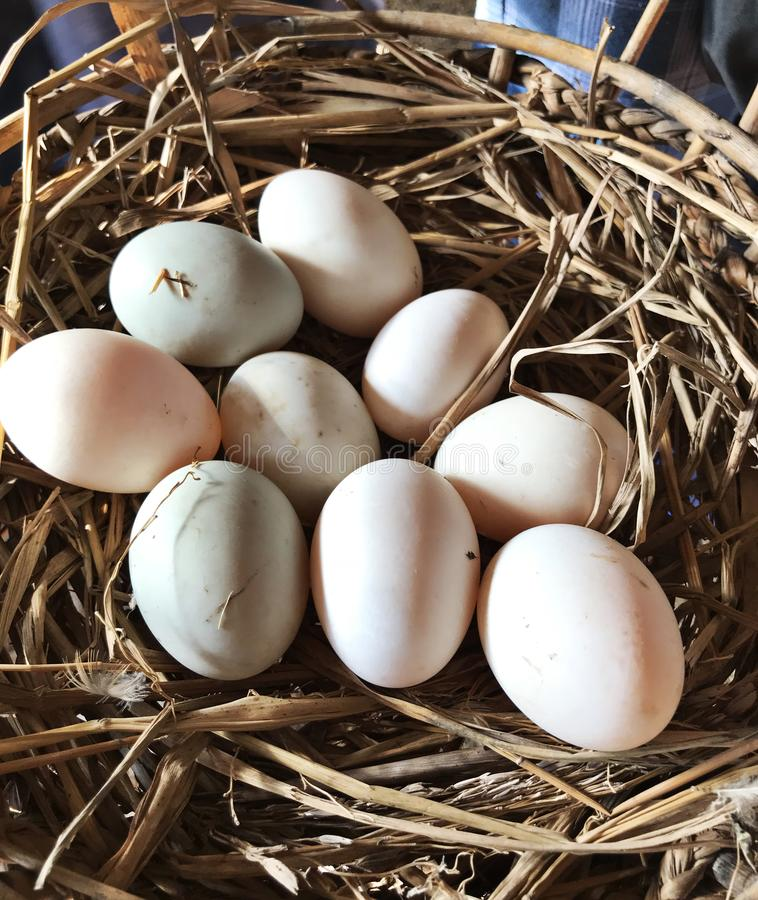 Fresh duck eggs on the farm. Fresh duck eggs on the farm in Thailand stock images