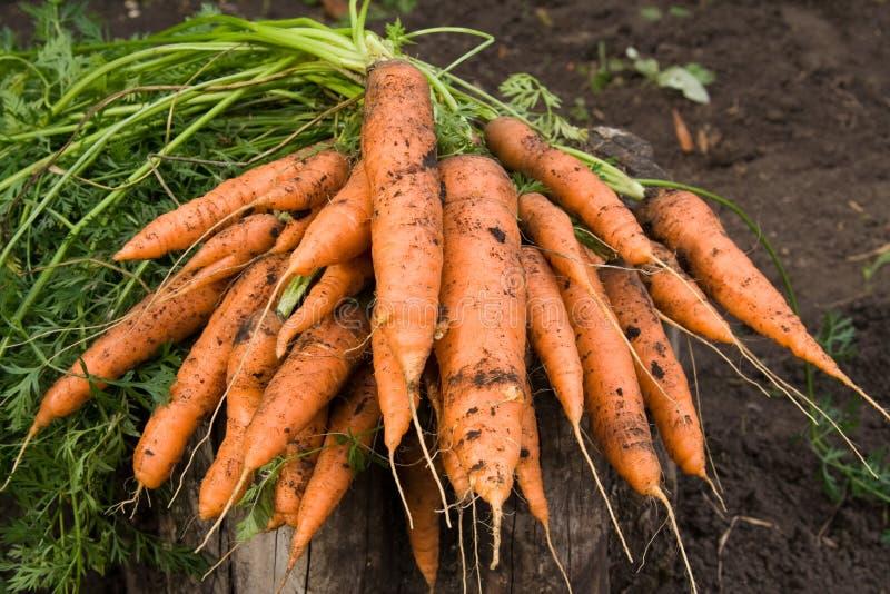 Fresh dug carrots. Bunch of fresh dug carrots royalty free stock image