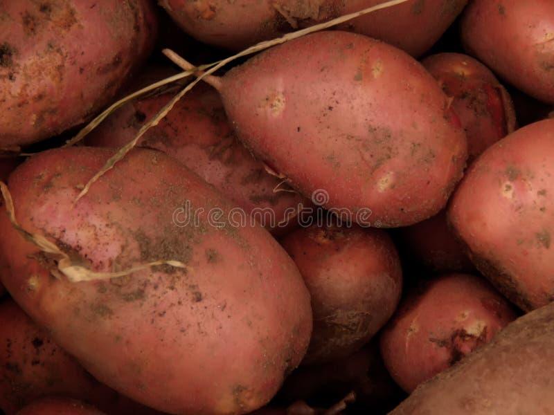 Fresh dug potatoes on the farm. Closeup royalty free stock photography