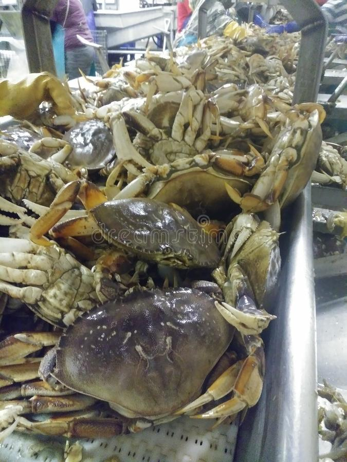 Fresh Dungeness Crab 2019. About to be butchered royalty free stock photos