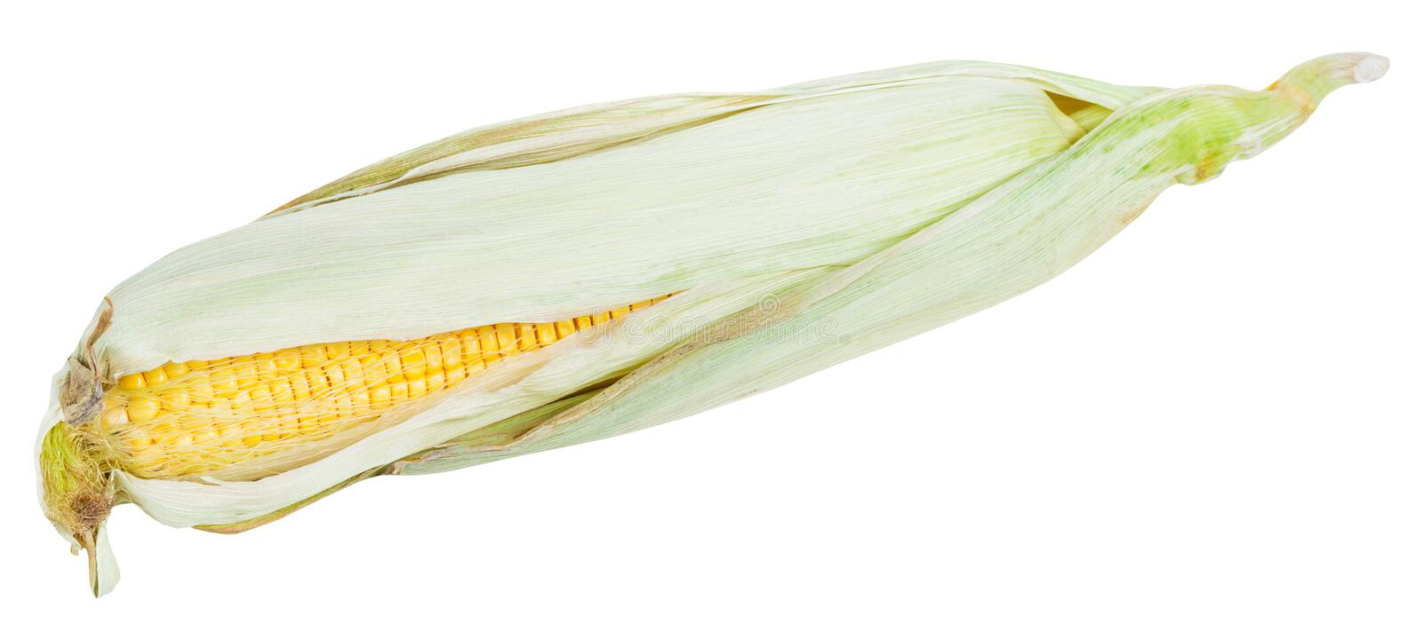 Fresh ear of ripe corn isolated on white stock photo