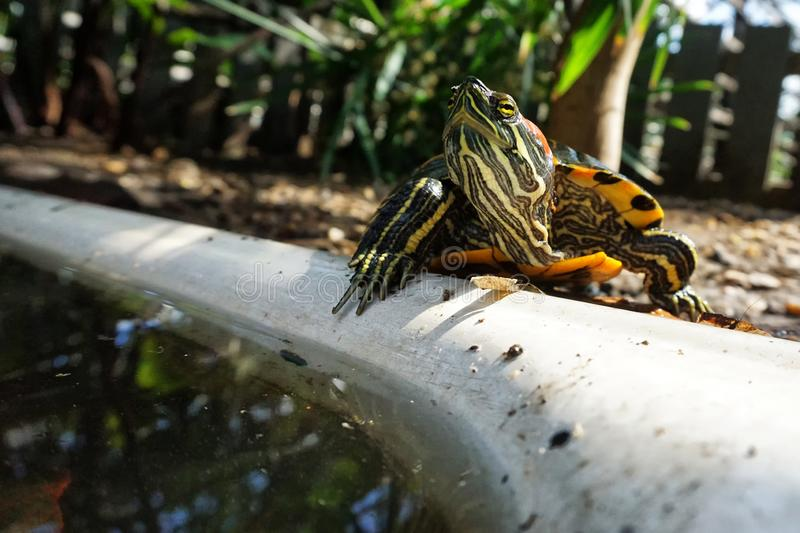 A fresh-eared slider turtle basks on the rocks next to an artificial pond. Wild life. Reptiles stock image