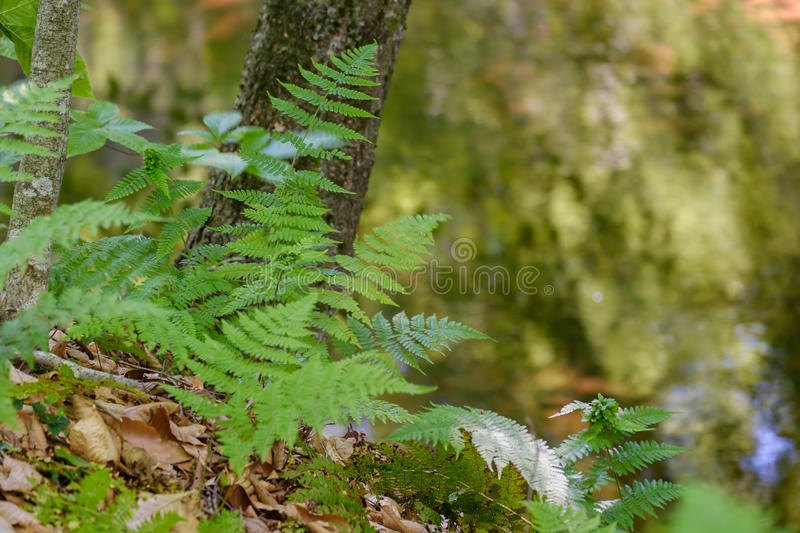 Fresh early summer ferns growing along a creek royalty free stock images