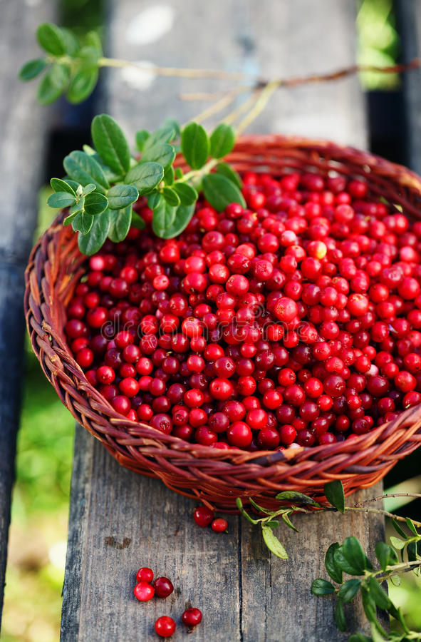 Fresh ecological lingonberry. From in the basket royalty free stock photo