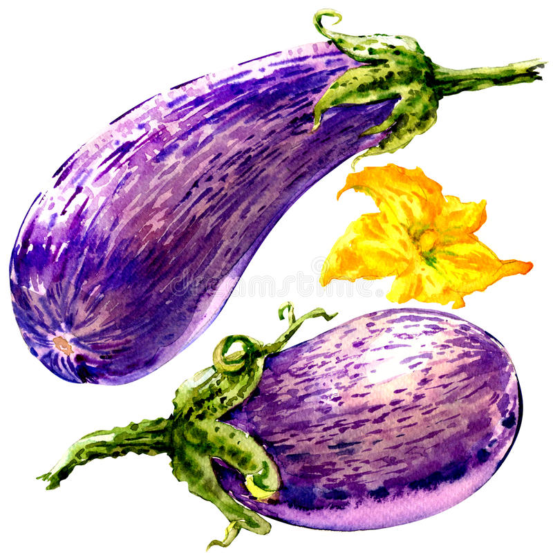 Fresh eggplant graffiti, striped eggplant, two vegetables with flower isolated, watercolor illustration on white stock illustration