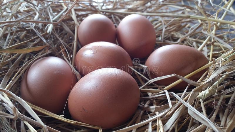 Fresh eggs. Hen eggs from farme straw support stock photo