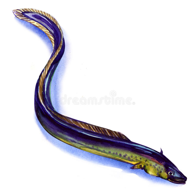 Fresh European eel on white background. Fresh European eel, watercolor painting on white background stock illustration