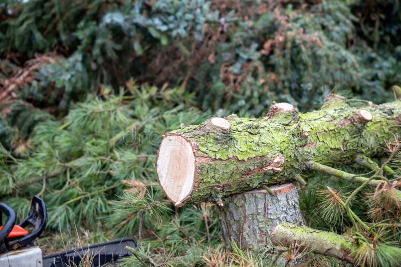 Fresh felled tree with chainsaw. On ground royalty free stock photos
