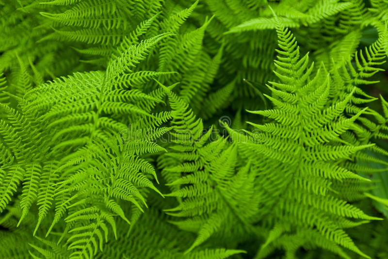 Fresh fern royalty free stock image