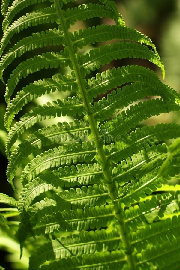 Download Fresh fern stock photo. Image of garden, fern, botanic - 38773114