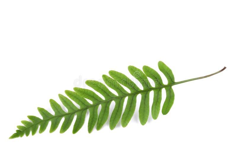 Fresh fern sprig royalty free stock photography