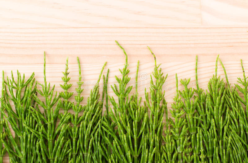 fresh field horsetail stock image