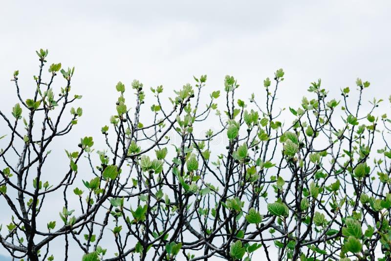Fresh fig tree leaves stock image