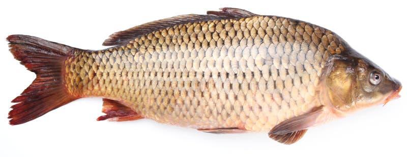 Fresh fish carp royalty free stock image