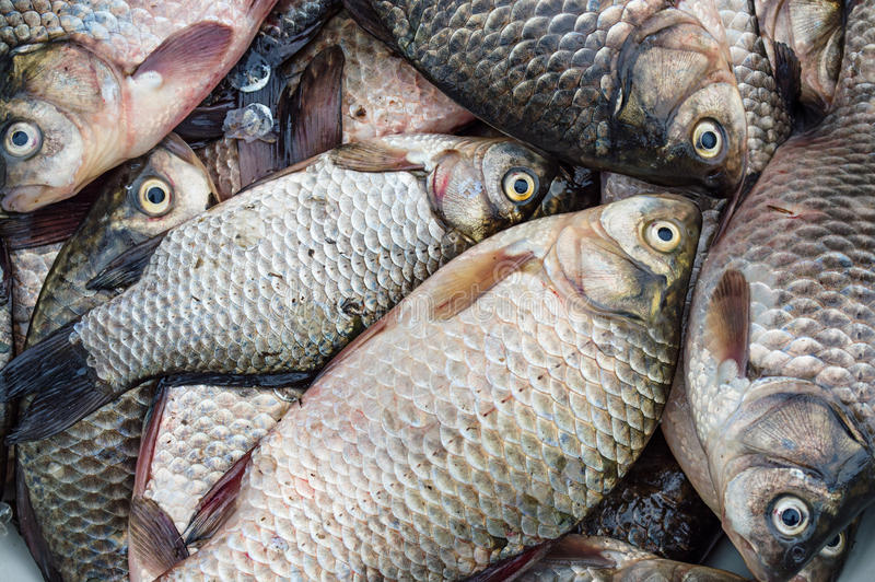 Fresh fish. Crucian (river carp) royalty free stock images