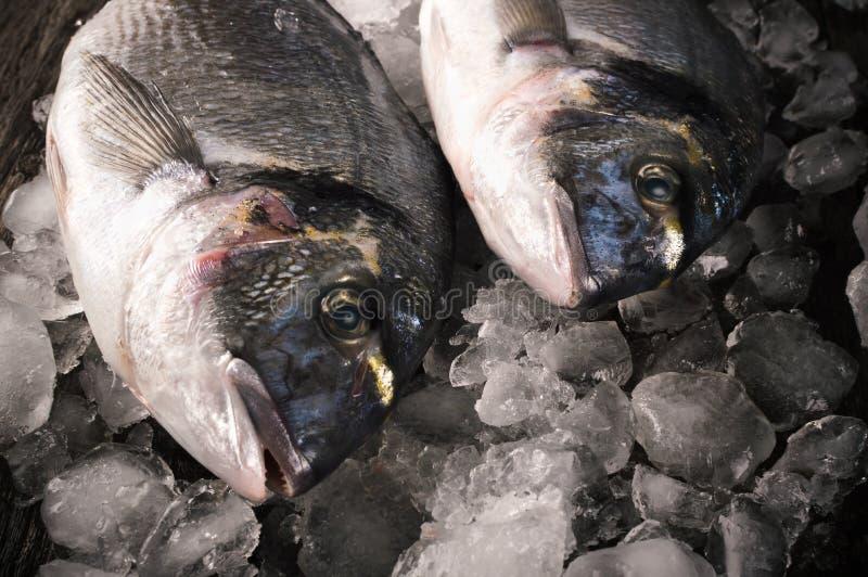Fresh fish dorado on the on the ice.  royalty free stock photo