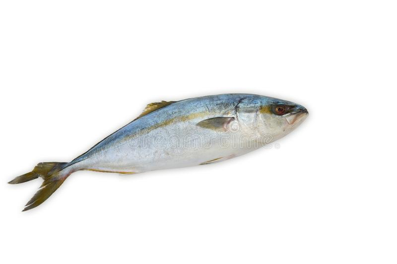 Fresh fish (hamachi fish) on white stock photography
