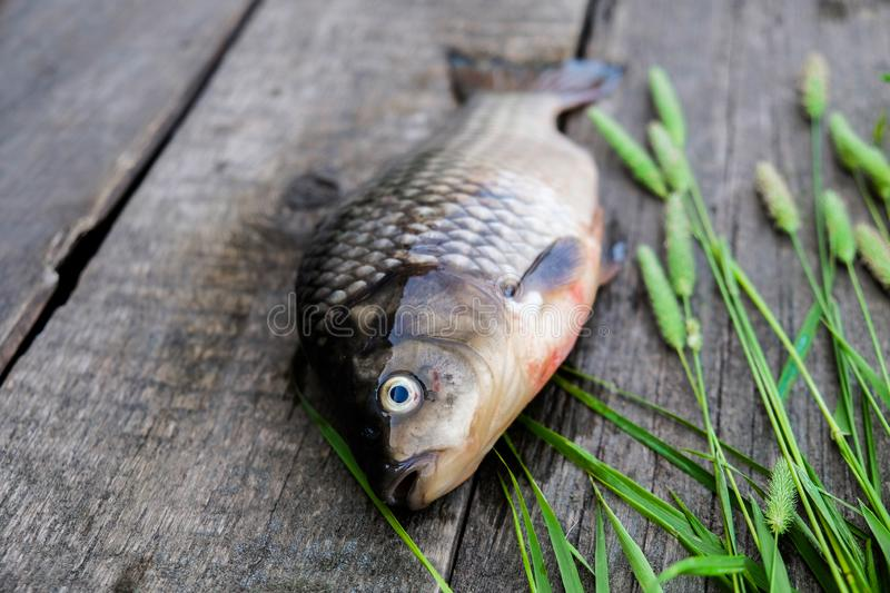 Fresh fish has just been caught from the water. The fish is located on the background of aged gray boards stock photo