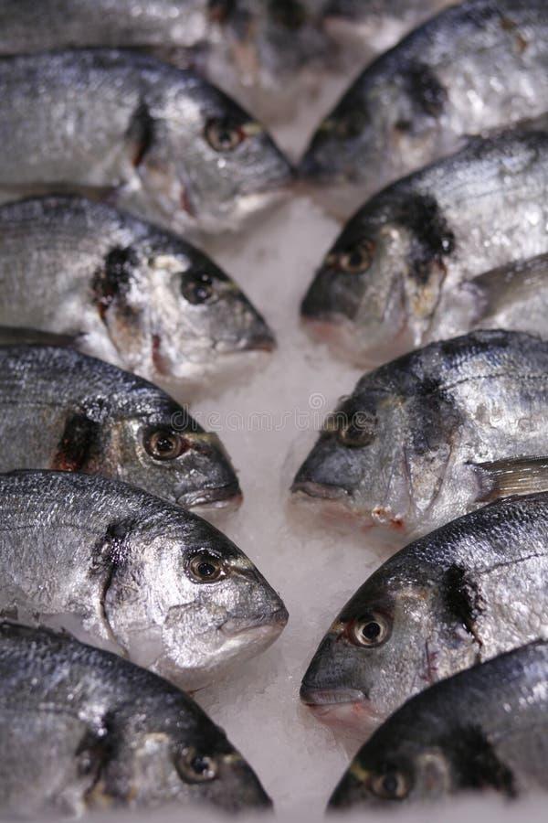 Fresh fish on ice. Fresh Dorado fish on ice stock image