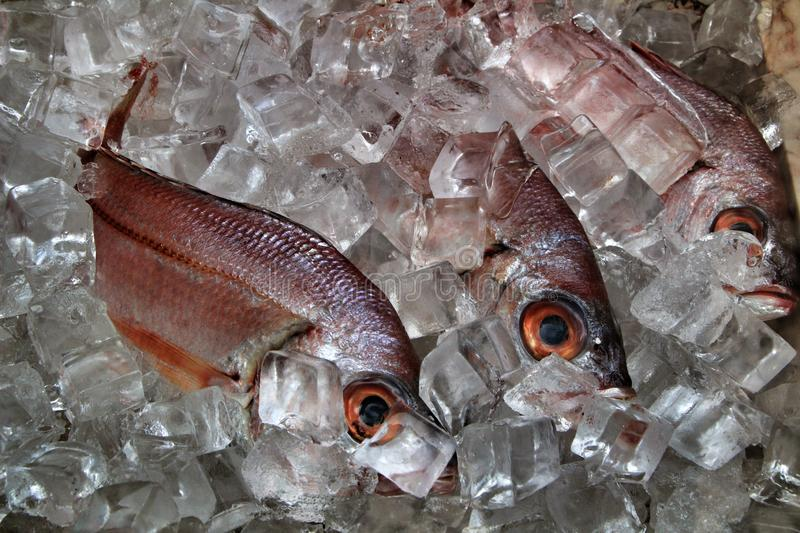 Fresh fish with ice for sale. In a market seafood cooking uncooked raw delicious tasty catch ingredient dorade mackerel freshly gilt-head eating arrangement stock images