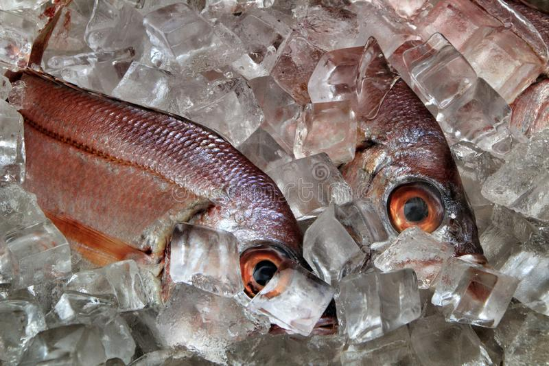 Fresh fish with ice for sale. In a market seafood cooking uncooked raw delicious tasty catch ingredient dorade mackerel freshly gilt-head eating arrangement royalty free stock photo