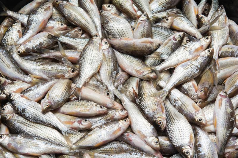 Fresh fish. Natural river fish stock image
