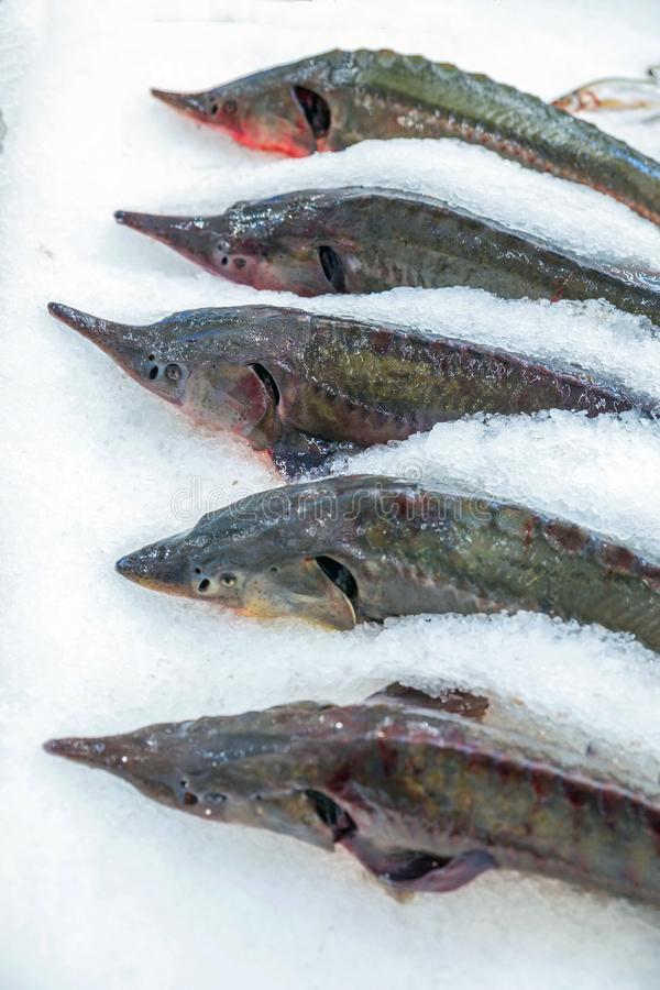 Fresh fish at the store counter. Dear sturgeon fish lies on ice for storage in a store stock images