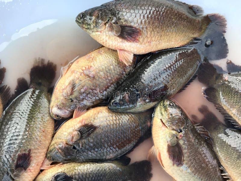Fresh fish Tilapia in market. Phuket in Thailand. stock photos