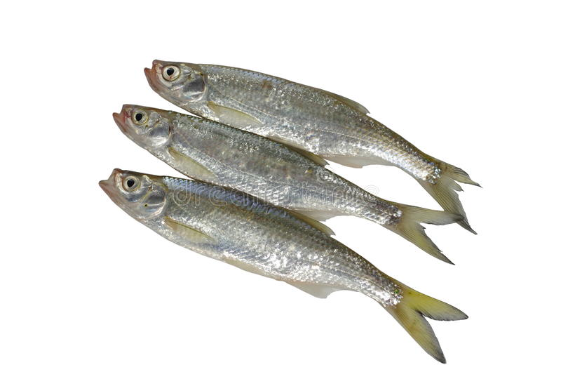 Download Fresh Fish Royalty Free Stock Image - Image: 31726586
