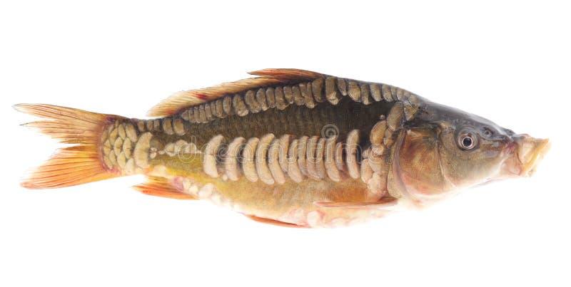 Fresh fish. royalty free stock photo