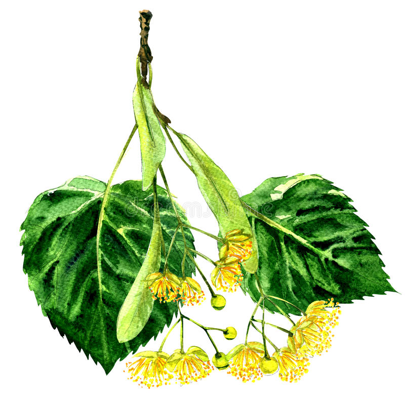 Free Fresh Flower And Leaf Of Linden Branch Isolated, Watercolor Illustration Stock Photo - 82301900