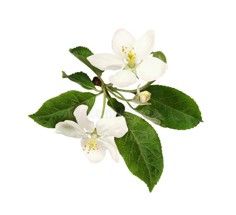 Fresh flowers and buds of apple tree royalty free stock image