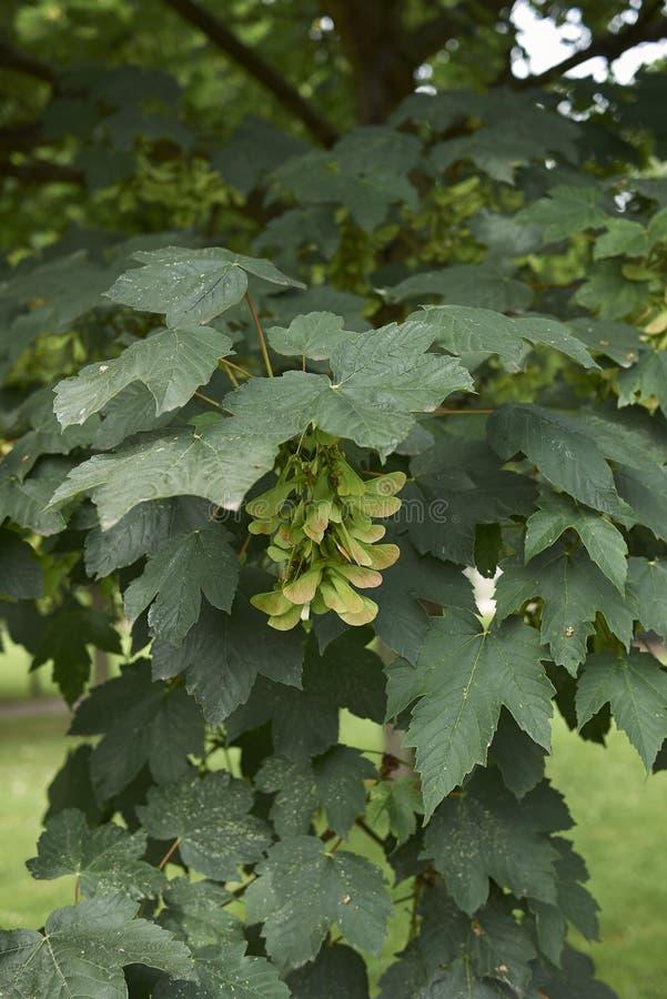 Acer platanoides tree close up. Fresh foliage and fruit of Acer platanoides tree royalty free stock image