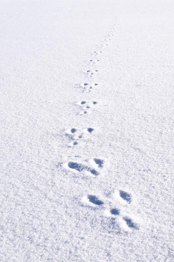 Fresh footprints, footsteps from animal rabbit in white snow field stock images