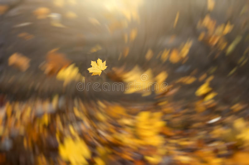 Fresh forest autumn season background. Strong wind blowing yellow maple leaves. Spiral blur tornado effect with focus on a single maple leaf stock image