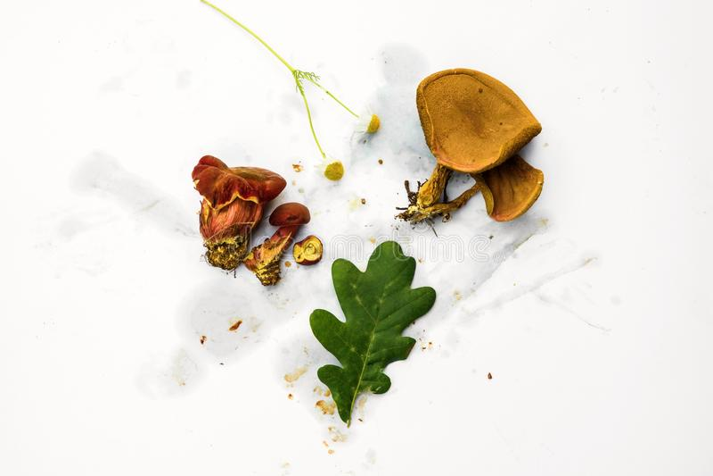 Fresh mushroom and leaf on dirty white background. Fresh forest mushroom red boletus, oak leaf and flower in composition on dirty white background stock photography