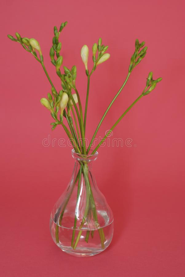 Download Fresh Freesia Green Buds In Glass Vase Isolated On Pink Rose Background. Spring Background. Stock Photo - Image of fresh, easter: 111619088