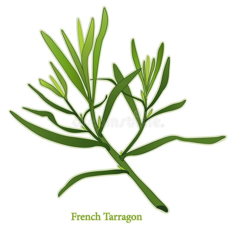 Fresh French Tarragon Herb. French Tarragon, aromatic perennial herb with lance shaped leaves used in cooking, salads, dressings & to flavor herb vinegars vector illustration