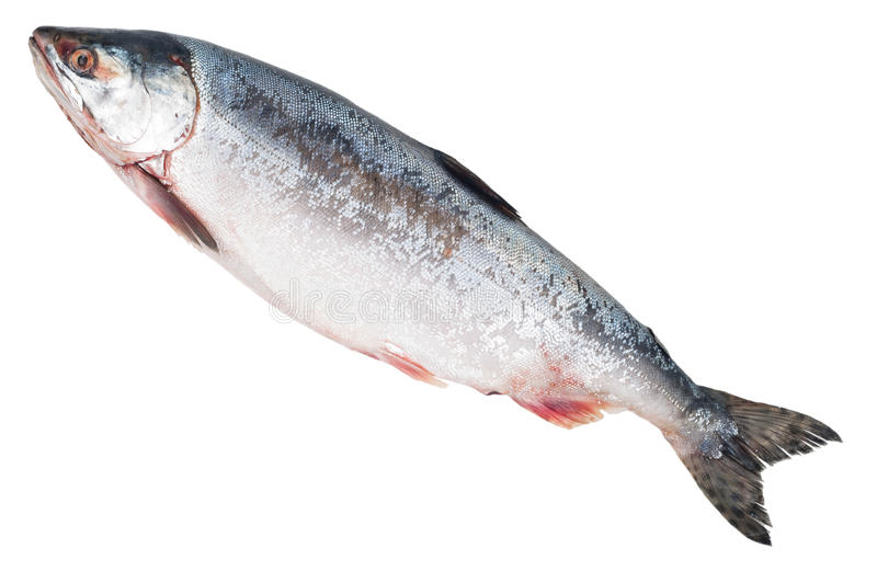 Fresh-frozen fish pink salmon stock photography