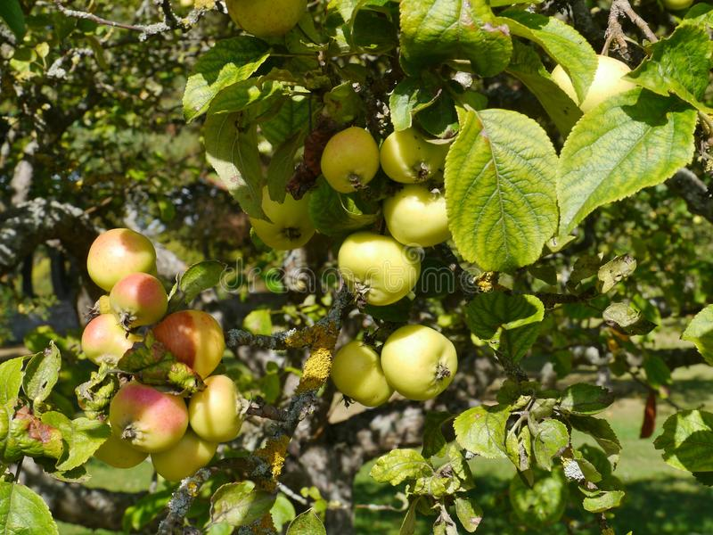 Fresh Fruit In A Tree Royalty Free Stock Photos - Image ...